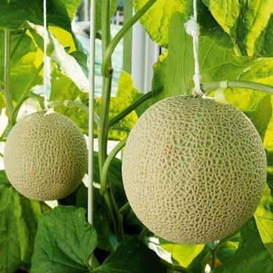 静岡クラウンメロン 『名人メロン』(山等級Lサイズ) 約1.4~1.5Kg 果物 通販