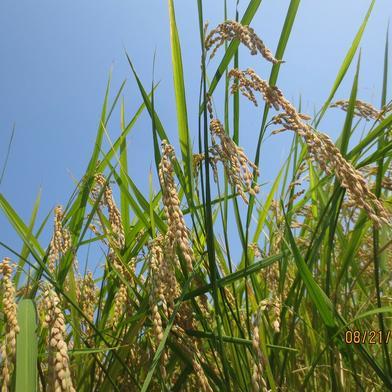 [数量限定 ] 香川県産の美味しいお米!! 玄米での発送可 5kg 香川県 通販