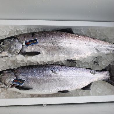天然ビワマス 2尾 1.5kg~  魚介類(その他魚介) 通販