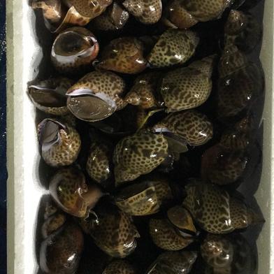 バイ貝3kg 3kg 果物や野菜などの宅配食材通販産地直送アウル
