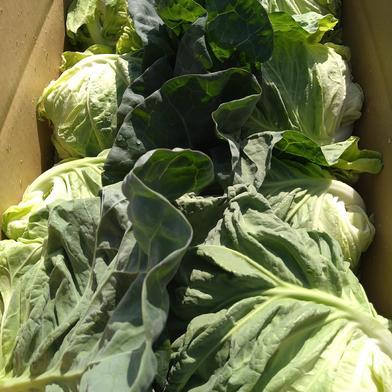 三浦春キャベツ 12キロ 果物や野菜などの宅配食材通販産地直送アウル