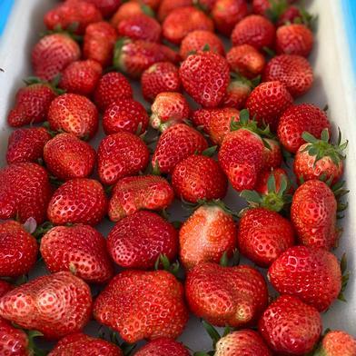 規格外いちごさん(潰れが気にならない方限定) 1kg(箱梱包重さ込み) 果物(いちご) 通販