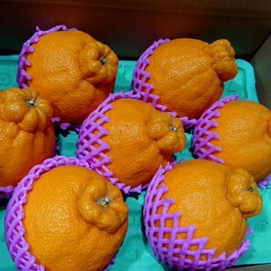 ハウス不知火 5Lサイズ 約3キロ 果物(柑橘類) 通販