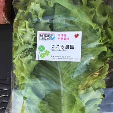 リーフレタスとトマトセット リーフレタス400g、トマト20個 滋賀県 通販
