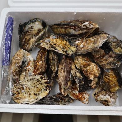 兵庫県産 生牡蠣2キロ ナイフ付き 殻付き2キロ 兵庫県 通販