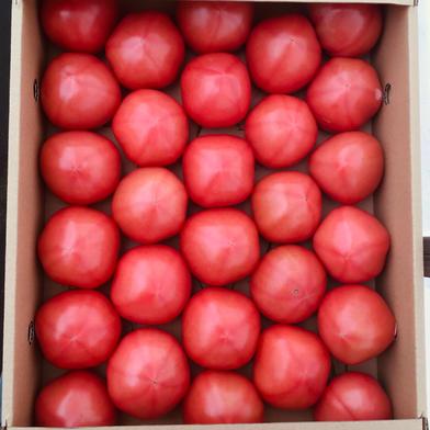 【訳あり】赤採りトマト2箱(4kg箱満杯×2) 2箱(4kg箱満杯×2) くるるんトマトファーム龍農園