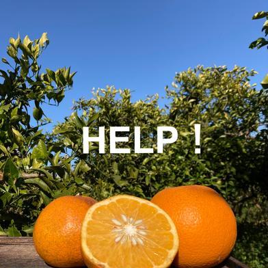 3.5kg【訳あり】紅八朔(べにはっさく) 3.5kg 果物(柑橘類) 通販