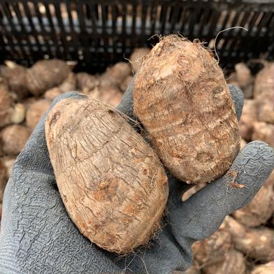 新潟県産 里芋 土垂(どだれ) 1.5kg 1.5kg 果物や野菜などの宅配食材通販産地直送アウル