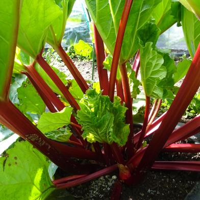 「まっ赤なルバーブ・クリムゾンチェリー」(生茎、1キロ) 1キロ 長野県 通販