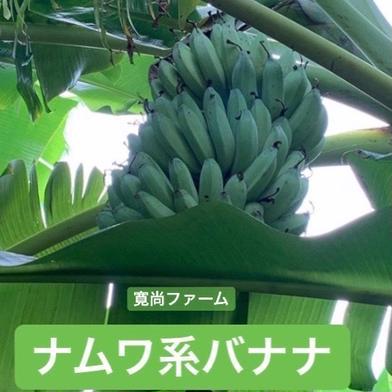 寛尚ファームのお試し ワクワクバナナ約1kg 900g〜1.3kg 沖縄県 通販