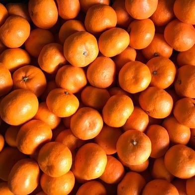 柑橘シーズン真っ只中!『完熟みかん』3㌔ 3㌔ 愛媛県 通販