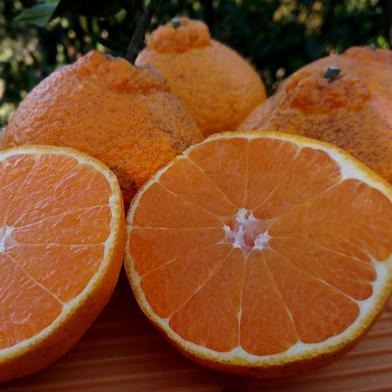 完全無農薬・無肥料栽培  不知火 4キロ 果物(柑橘類) 通販