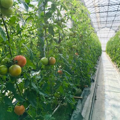 【訳あり】赤採りトマト3箱(4kg箱満杯×3) 約12kg(4kg箱満杯×3) 野菜(トマト) 通販