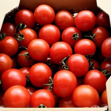あま旨とまと【暁】1kg 1kg 野菜(トマト) 通販