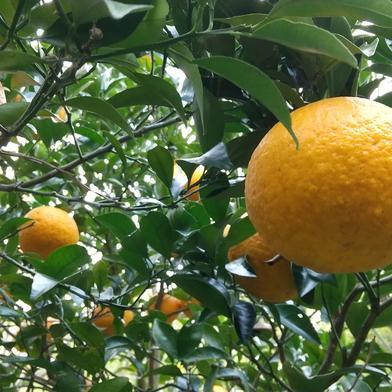 完熟あまなつ  農薬不使用 4kg 果物や野菜などの宅配食材通販産地直送アウル