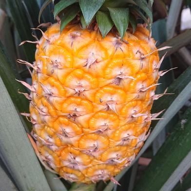 完熟パイナップル 1,4キロ×4玉 果物(その他果物) 通販