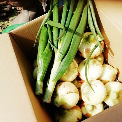 たまねぎの季節となりました❗ はなのきふぁーむのすくすく野菜 売り切れ御免❗春限定サラダ向き玉ねぎ(5㎏) 5kg 果物や野菜などの宅配食材通販産地直送アウル