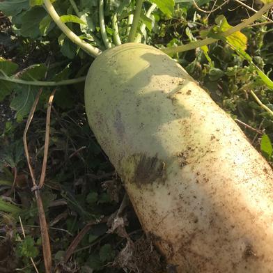 短形大根10kg 10kg 果物や野菜などの宅配食材通販産地直送アウル