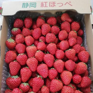 可愛いサイズのイチゴ(お徳用) 約1.6kg 静岡県 通販
