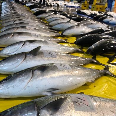 朝どれ氷見産鰤 10kg以上 10kg〜(本体のみ) 魚介類(ぶり) 通販