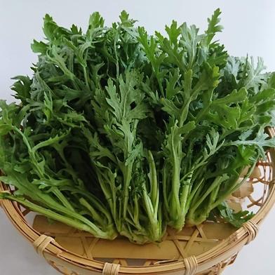 春菊専門農家の春菊 規格外品 1.5kg 京都府 通販