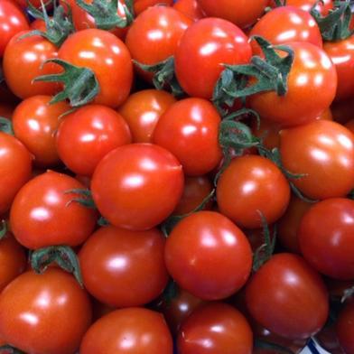 砂栽培☆エコスイート(ミニトマト) 1㎏ 野菜(トマト) 通販
