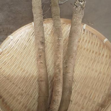 しっとりやわらかな香り高いゴボウ 1kg 千葉県 通販