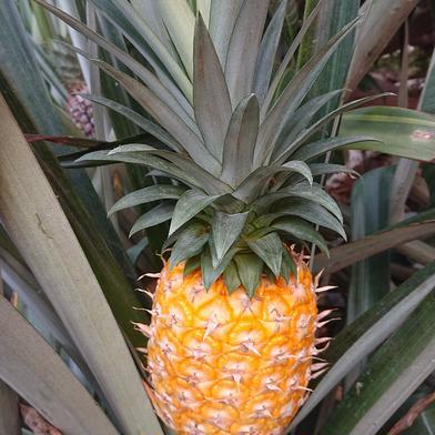 完熟パイナップル 2玉 約2,4キロ 果物(その他果物) 通販