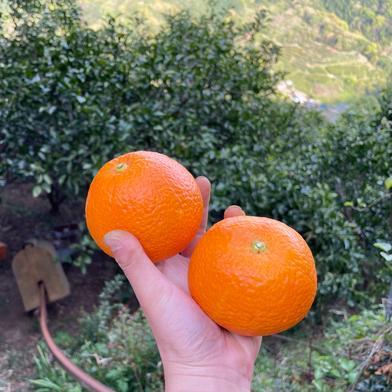 中山農園のさつき紅八朔 約4kg 果物や野菜などの宅配食材通販産地直送アウル
