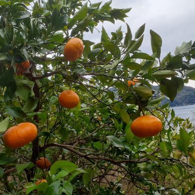 フーワ農園の無農薬甘平 3Kg 果物や野菜などの宅配食材通販産地直送アウル