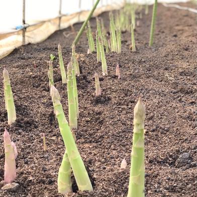 【Lサイズ】小林農園の朝どりアスパラガス 2kg 2kg 野菜(アスパラガス) 通販