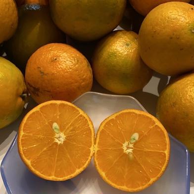 完売【国産・冬季限定】喜界島産たんかん 9〜12個程度(約1.8kg)OWL配送(常温) 9〜12個程度(約1.8kg) 果物(柑橘類) 通販