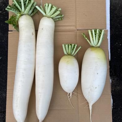 星イズ農園で作ったおいしい源助大根としろくび大根 約4.5Kg 果物や野菜などの宅配食材通販産地直送アウル