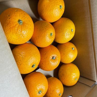 中山農園の紅八朔「風」B級品 約4kg 果物や野菜などの宅配食材通販産地直送アウル