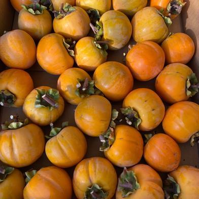 あんぽ柿 干し柿用 5kg 果物(柿) 通販