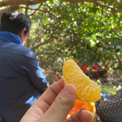 中山農園のさつき紅八朔 約4kg 果物(柑橘類) 通販