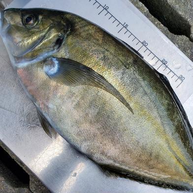養殖シマアジ 3.0~3.5kg 魚介類(その他魚介) 通販