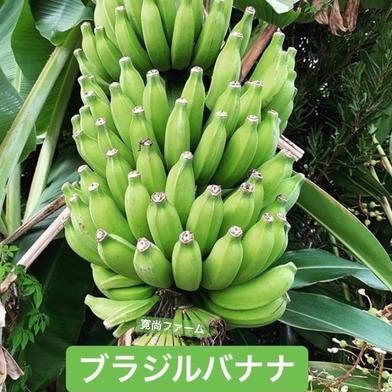 寛尚ファームのバナナ2kg 2kg 沖縄県 通販