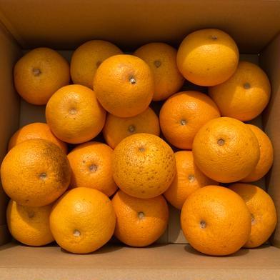 今季限定価格!8kg【訳あり】八朔(はっさく)  ☆ネット販売スタート記念☆ 8kg 果物(柑橘類) 通販