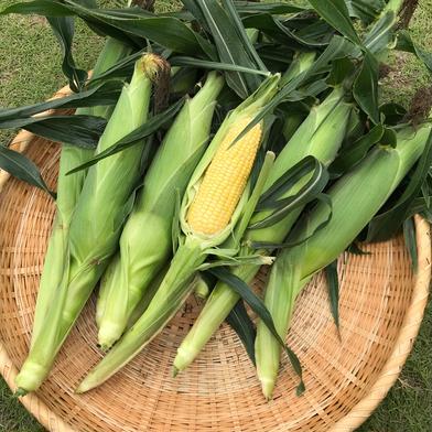 増田農園の朝採りとうもろこし(ゴールドラッシュ) 10本(約5キロ) 野菜(とうもろこし) 通販