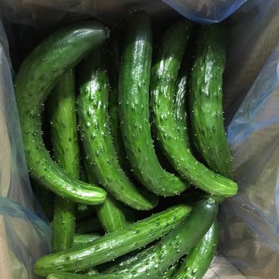 訳あり 加工用きゅうり 規格外 無選別 朝採り野菜 3kg 福島県 通販