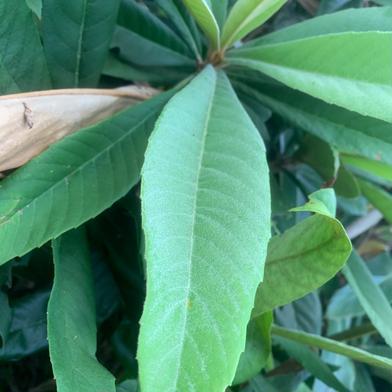 寛尚ファームの琵琶の葉 100g 沖縄県 通販