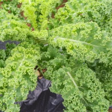 栄養価の高い!フリルケール・ヴェルデ(1キロ) 1キロ 野菜(その他野菜) 通販