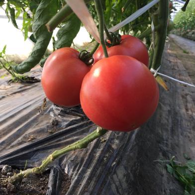 王様トマト マイロック28個 28個入 3㎏ 野菜(トマト) 通販