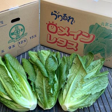 香川県産 ロメインレタス 6kg 6kg前後(9玉〜15玉) 香川県 通販