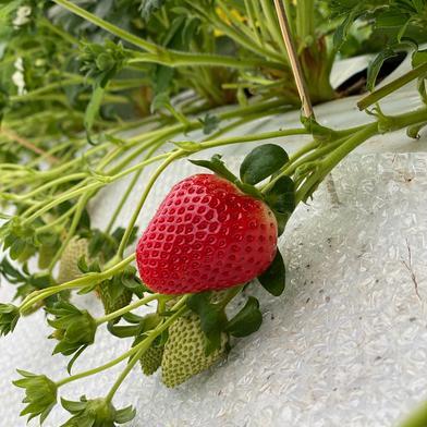 規格外さがほのか(潰れが気にならない方限定) 1kg(箱梱包重さ込み) 果物(いちご) 通販