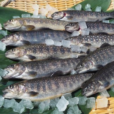 [岩魚]イワナ12尾入(19cmサイズ)冷凍 12尾 魚介類(川魚) 通販