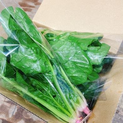 池ちゃん農園のほうれん草 約1.0kg(15〜20株) 果物や野菜などの宅配食材通販産地直送アウル
