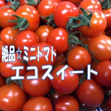 砂栽培☆エコスイート(ミニトマト) 1㎏ 大阪府 通販