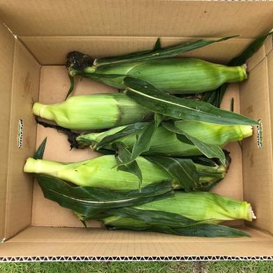 【お試し】増田農園の朝採りとうもろこし(ゴールドラッシュ) 5本(約2.5キロ) 野菜(とうもろこし) 通販